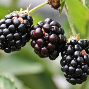 Blackberry Locust Honey