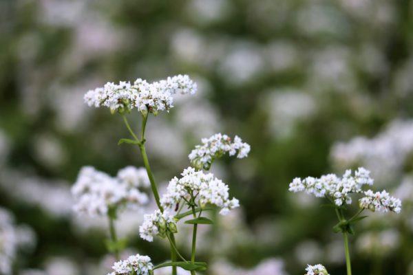 Buckwheat Flower