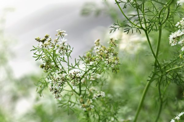 Coriander Blossom