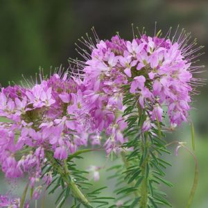 Fireweed Blossoms