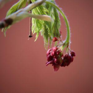 Maple Blossom