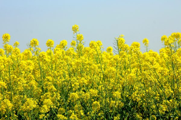 Canola Blossoms